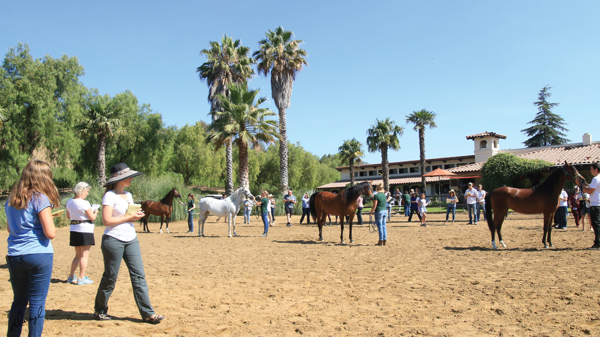 Om El Arab mares line up as clinic attendees try their hand at judging based on the conformation guidelines provided throughout the two days of the clinic.
