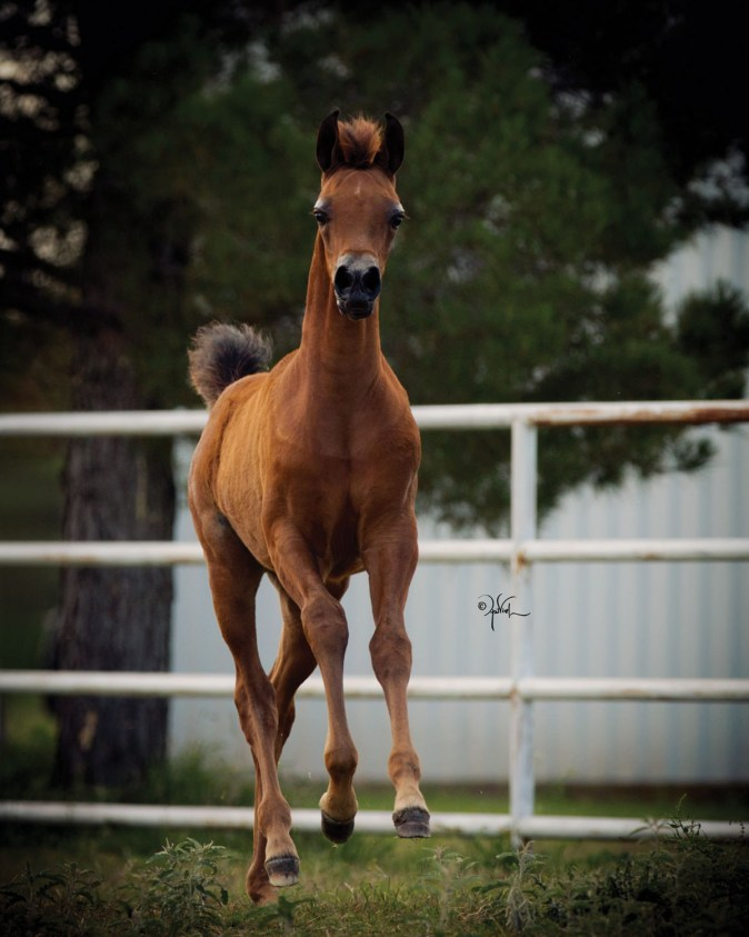 The 2017 filly WC Kharena (*Kanz Albidayer x WC Lady Bey Dakhara), owned by Holly Dillin, Western Cross, Weatherford, Texas.