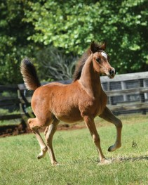 "The filly Emmeline (*Kanz Albidayer x MSA Kataryna by *Parys El Jamaal) owned by Vicky Mangan, MJM Farm, Honeoye, New York. ""Kataryna has graciously given us four fillies in a row (and raised an orphaned filly),"" says Vicky."