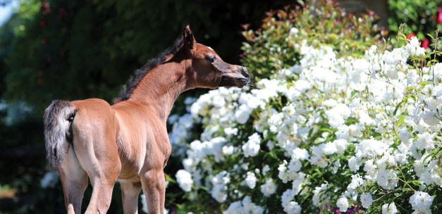 The 2017 filly Persia Le Soleil (ZT Magnofantasy x Halimashah Le Soleil), bred and owned by Elvis Giughera, Le Soleil Stud, Italy.