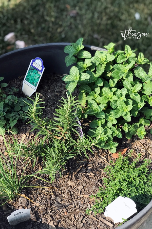 I've been so excited to get cooking with some of my favorite ingredients: thyme, oregano, chives, rosemary, and mint. But my conundrum has been keeping cut herbs fresh. Check out this simple trick for prolonging the life of your herbs!