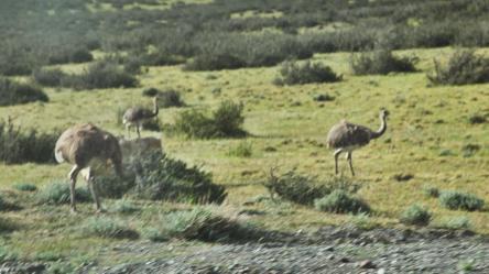 Tierra Patagonia rheas