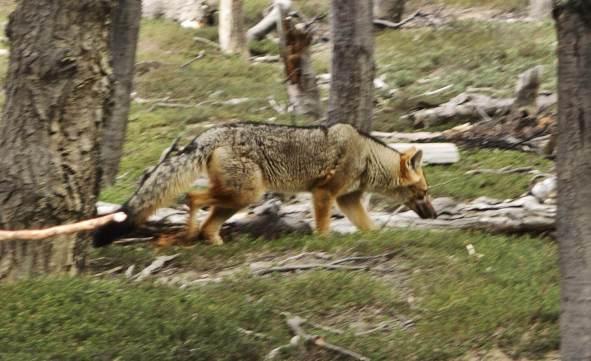 Tierra Patagonia fox
