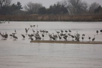 Sandhill cranes on the Platte River closeup