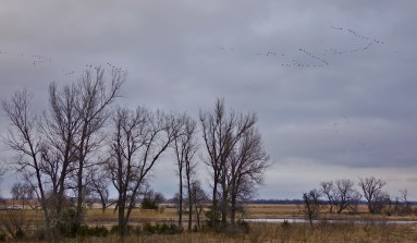 Sandhill cranes on the Platte River sunset landing