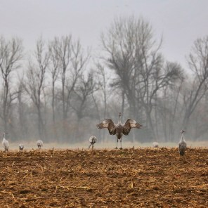 Sandhill cranes on the Platte River dance