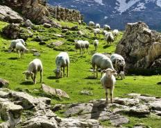 Cirque de Troumouse Sheep Posse funny