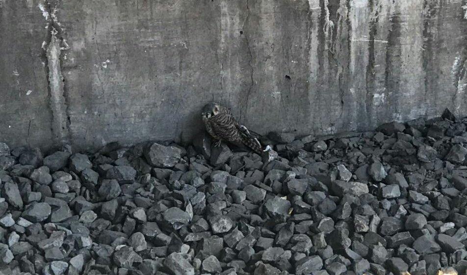 Rescatan halcón de vías del Metro