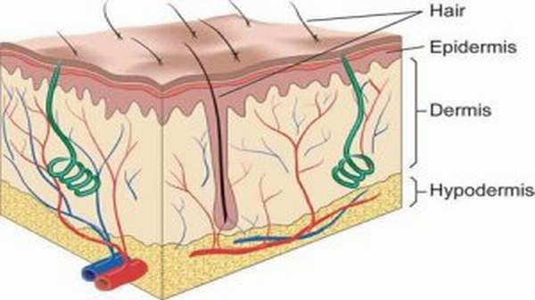 Dermis: Quick Overview