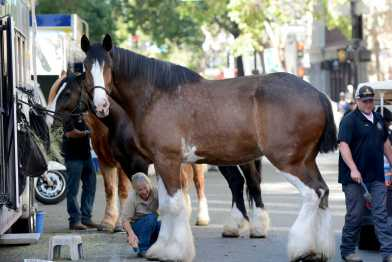 A hostler cleans a horse's hooves at the Golden State Warriors championship parade in Oakland, Calif. on Thursday, Jun. 15, 2017.