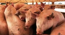 138 familias acambarenses  recibieron molinos para nixtamal y vientres porcinos