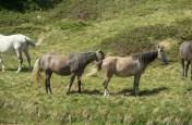 Swiss horses