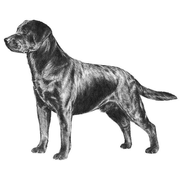 Labrador Retriever Breed Standard Illustration
