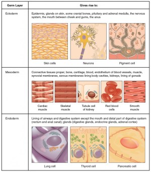 Types of Tissues | Anatomy and Physiology I