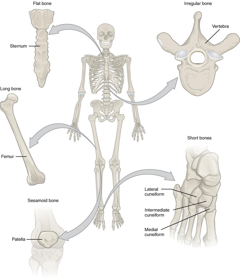B E Cl Ss Ic Ti N Tomy Nd Physiology I