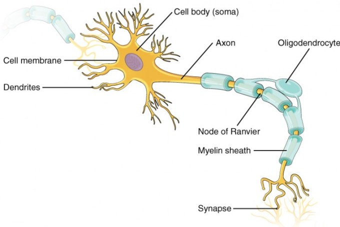 Multipolar Motor Neuron Worksheet Motorwallpapers