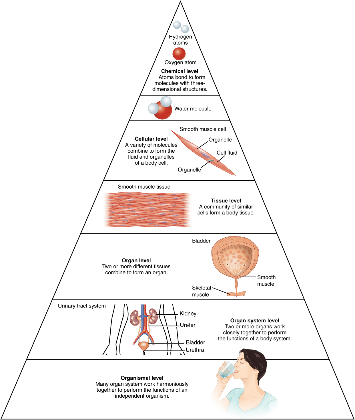 Structural Organization Of The Human Body