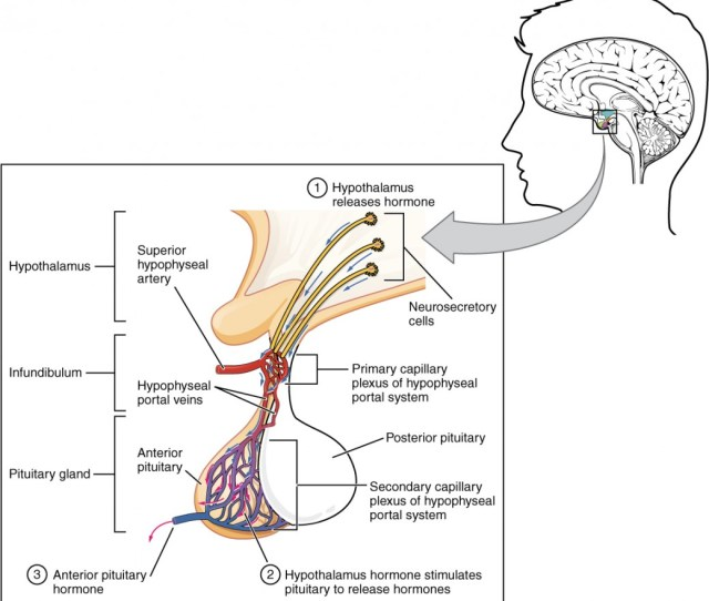 This Illustration Zooms In On The Hypothalamus And The Attached Pituitary Gland The Anterior Pituitary