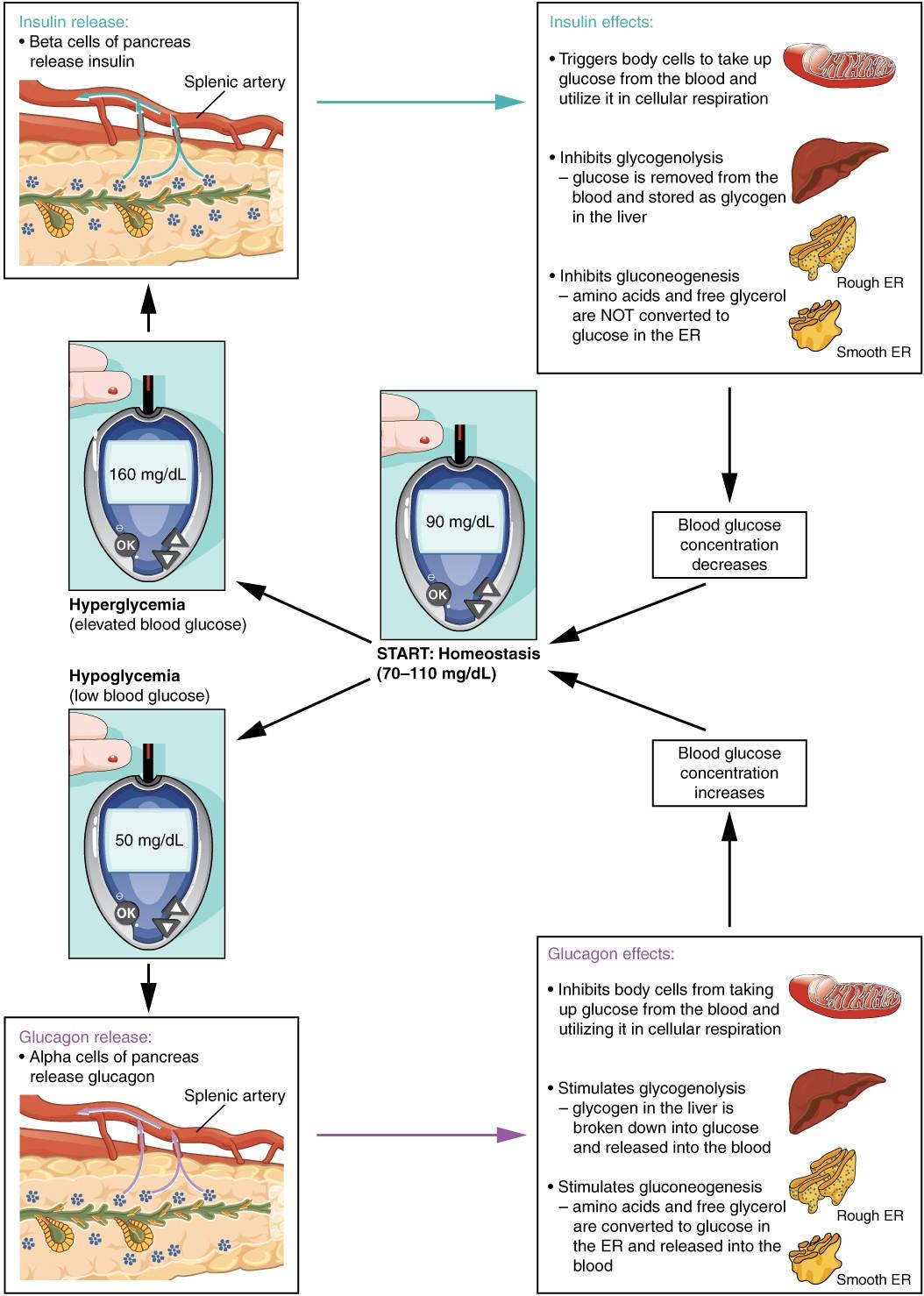 The Endocrine Pancreas