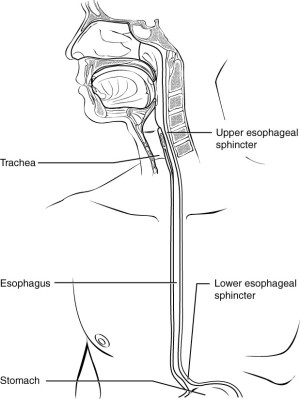 The Mouth, Pharynx, and Esophagus | Anatomy and Physiology II