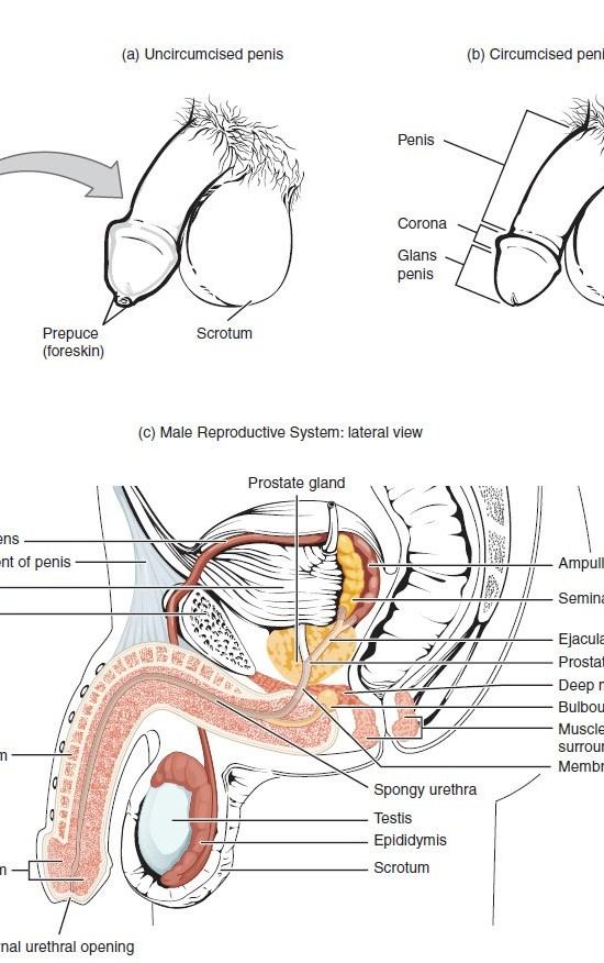 Figure 28 01 01 - Sistema Reproductivo Funciones