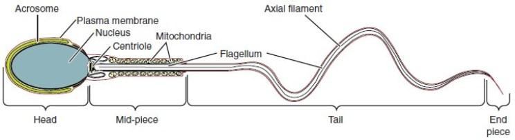 Figure 28 01 05 - Sistema Reproductivo Funciones