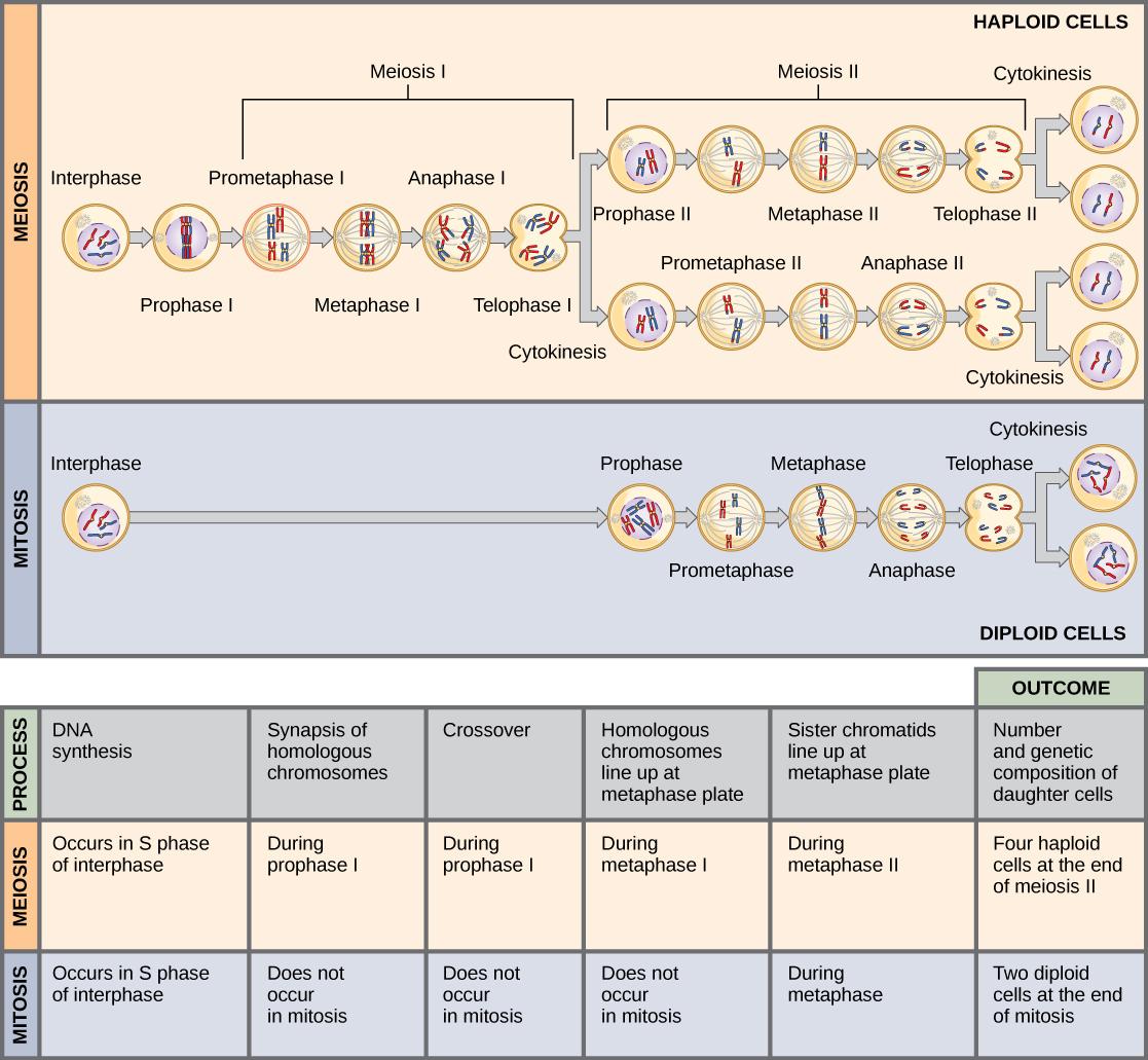 Meiosis And Gametogenesis