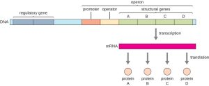 Prokaryotic Gene Regulation | Biology for Majors I