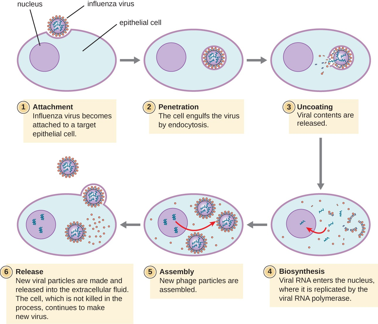 Diagram Of Infection Cycle