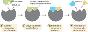 Energy, Matter, and Enzymes   Microbiology