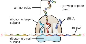 Structure and Function of RNA | Microbiology