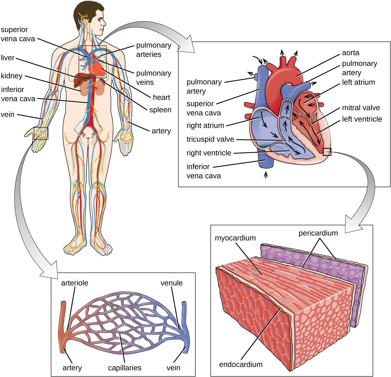 Anatomy Of The Circulatory And Lymphatic Systems