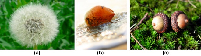 Part A shows a dandelion flower that has seeded. Part B shows a coconut floating in water. Part C shows two acorns.