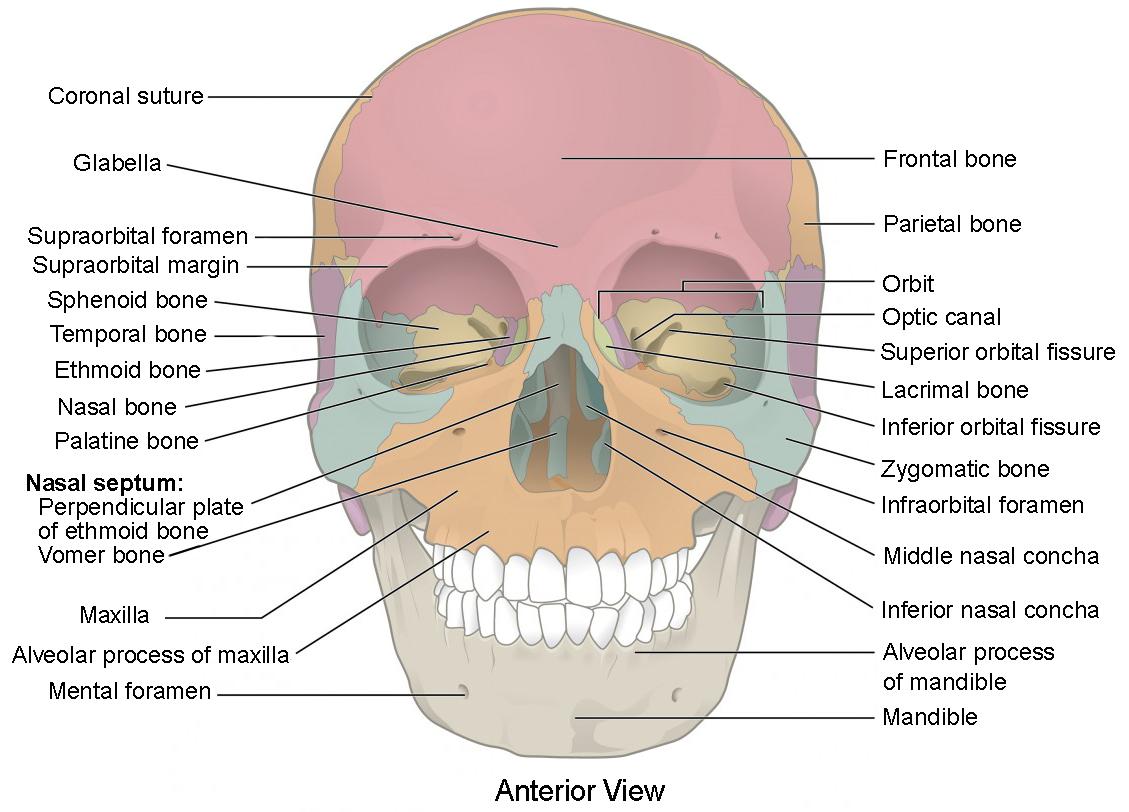 Anatomy Body Regions Worksheet