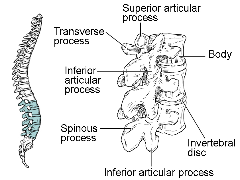 Physiology Spine And Discs