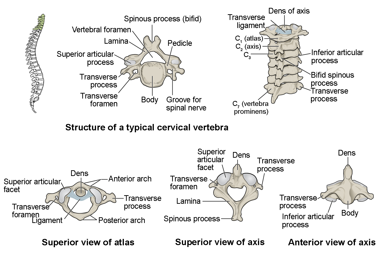 Blank Vertebral Column Diagram
