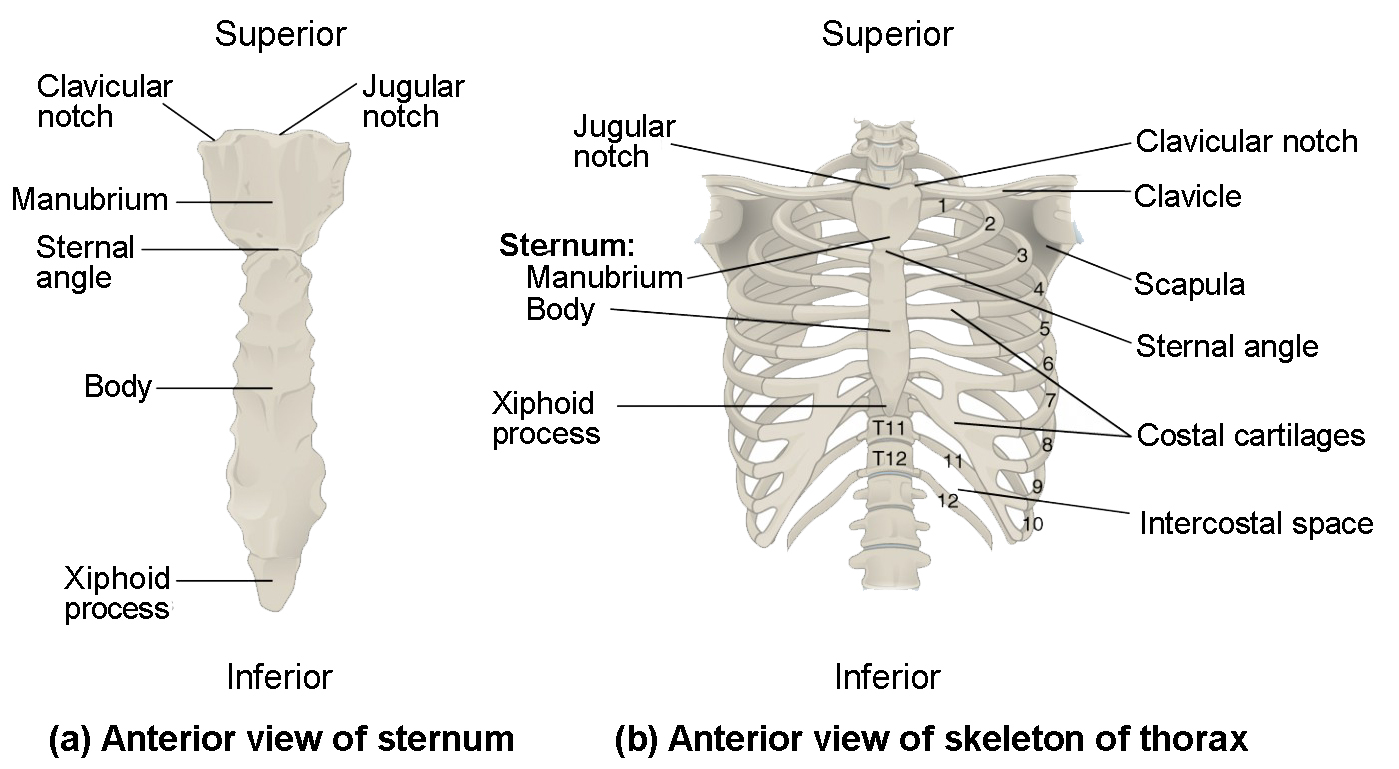 Shoulder Anatomy Diagram Worksheet