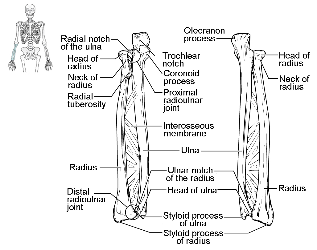 Radius And Ulna Diagram Unlabeled