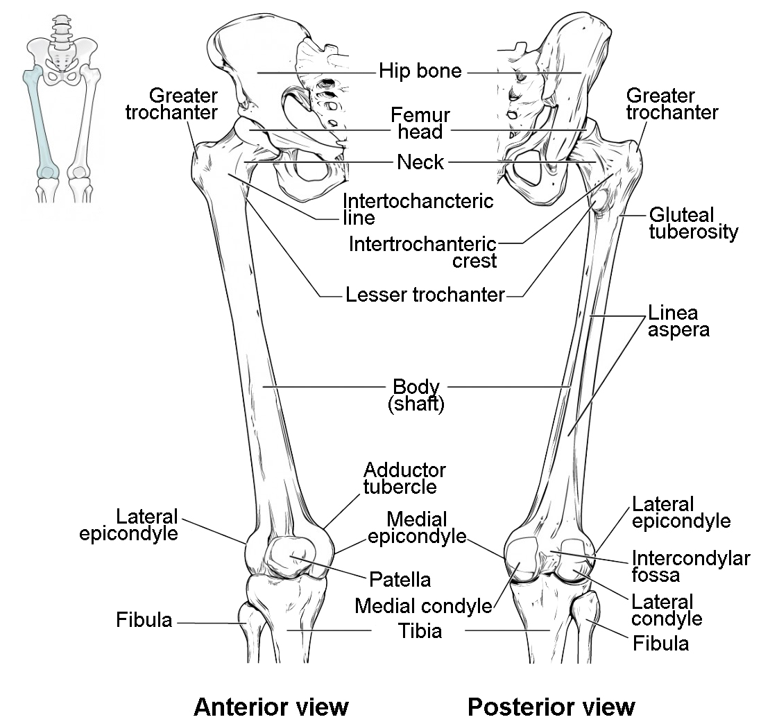 14 S Legs Human Body Anatomy Body