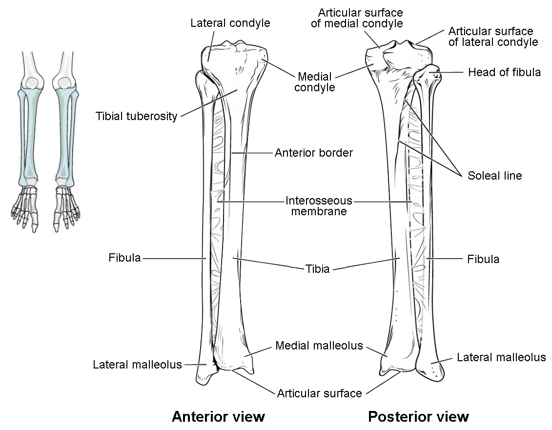 Bones Of The Lower Limb