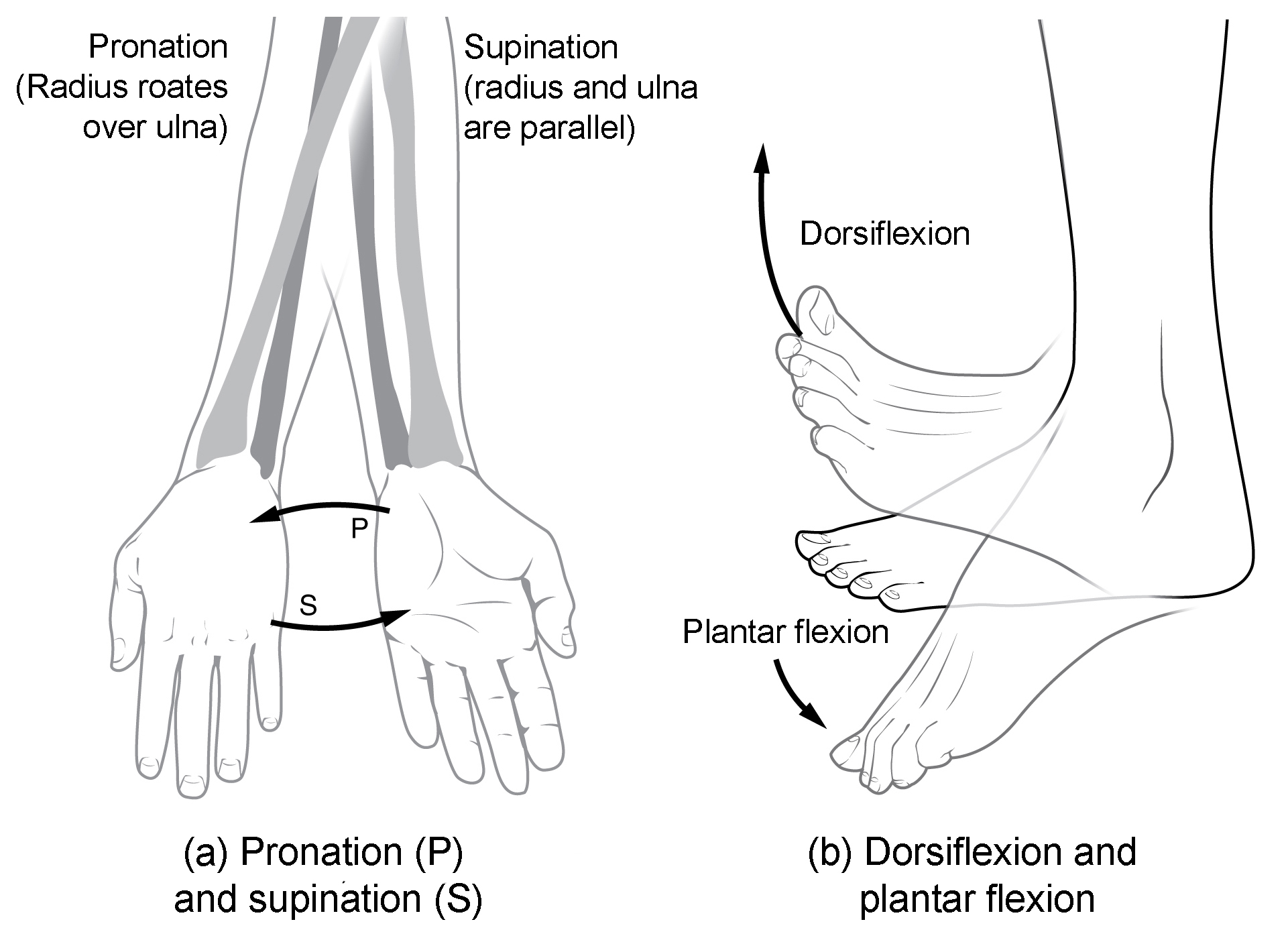 Special Movements Of The Foot Can Be Classified As