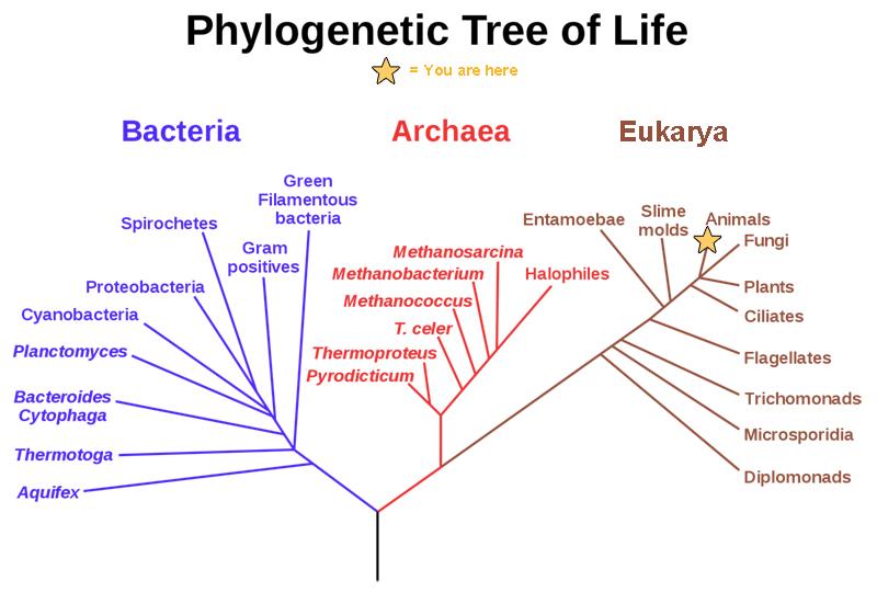 Evolution Branching Tree Diagram