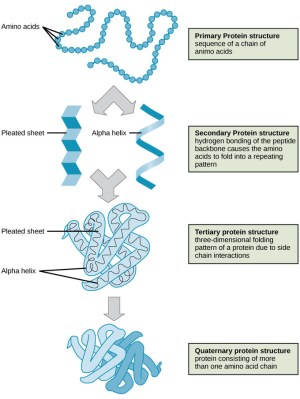 Proteins | Boundless Biology