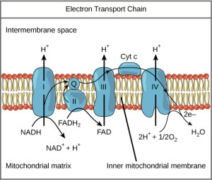 Oxidative Phosphorylation | Boundless Biology