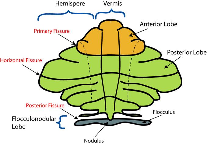 This diagram of the divisions of the cerebellum includes the hemisphere, vernis, primary fissure, horizontal fissure, posterior fissure, flocculonodular lobe, nodulus, flocculus, anterior lobe, and posterior lobe.