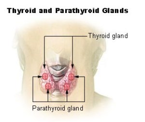This is an illustration of the parathyroid gland in relation to the thyroid gland. They are located on the posterior surface of the lobes. The two parathyroid glands on each side of the thryoid gland that are positioned higher are called the superior parathyroid glands, while the lower two are called the inferior parathyroid glands.