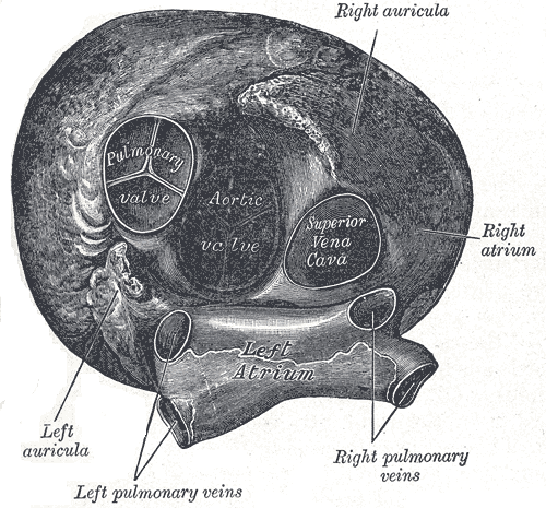 This anterior view of the heart indicates the right and left auricula, right and left atria, right and left pulmonary veins, aortic valve, pulmonary valve, and superior vena cava.