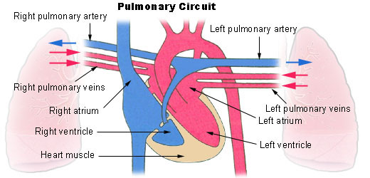 This diagram of the pulmonary circuit indicates the left and right pulmonary arteries, left and right pulmonary veins, left and right atria, left and right ventricle, and heart muscle. Oxygen-rich blood travels into the veins; oxygen-poor blood travels through the arteries.