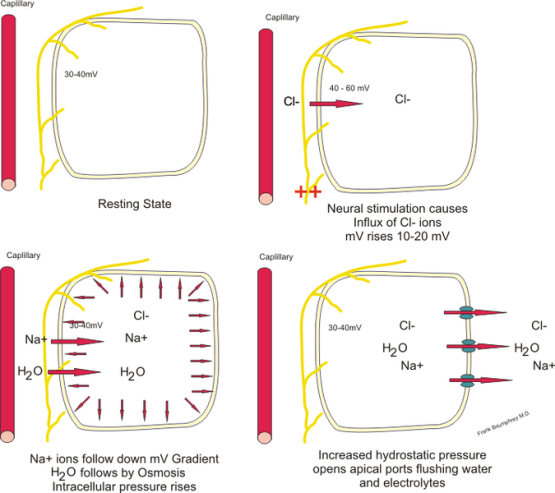This diagram illustrates the mechanism for the transportation of water and electrolytes across the epithelial cells of the secretory glands.