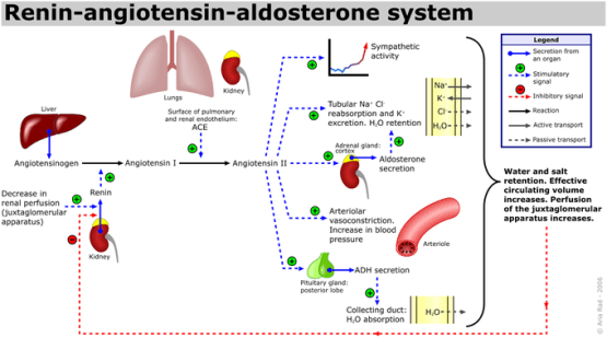 This is a diagram of the regulation of sodium via the hormones renin, angiotensin, and aldosterone. In states of sodium depletion, the aldosterone levels increase, and in states of sodium excess, the aldosterone levels decrease.